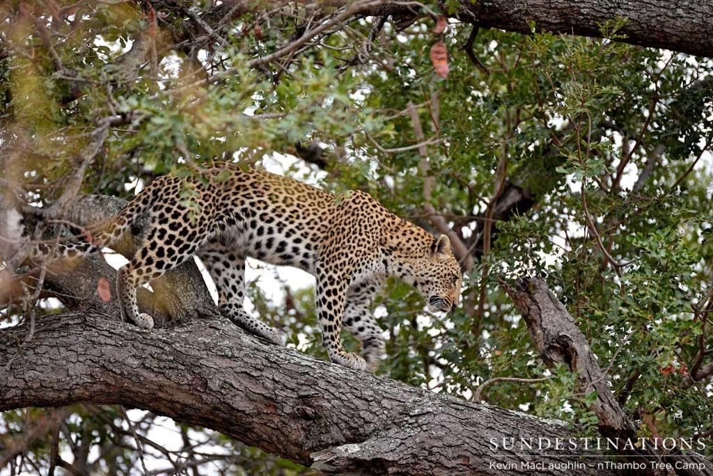Leopard walking a branch
