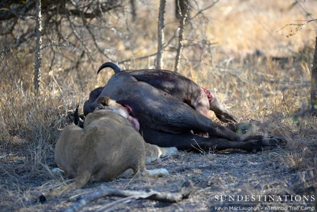 Lioness feeding from buffalo carcass