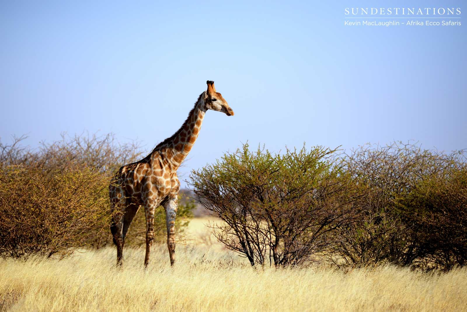 A Lone Giraffe In Deception Valley Sun Destinations Discover