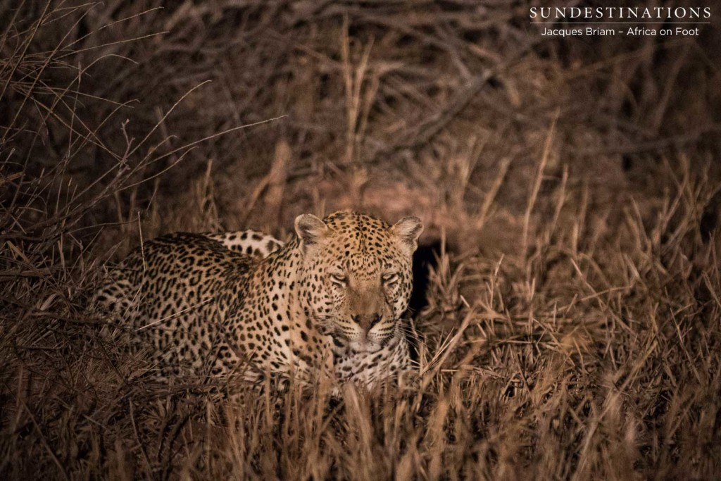 Big male leopard whose territory runs around Africa on Foot