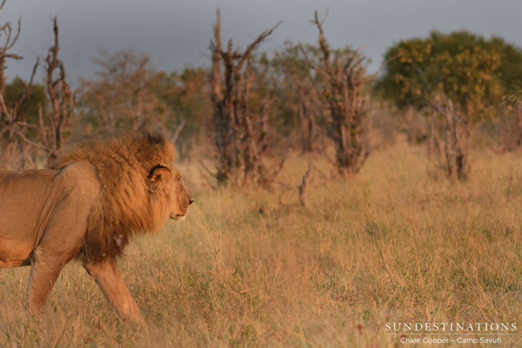 Male lion paces through an open patch between the mopane trees