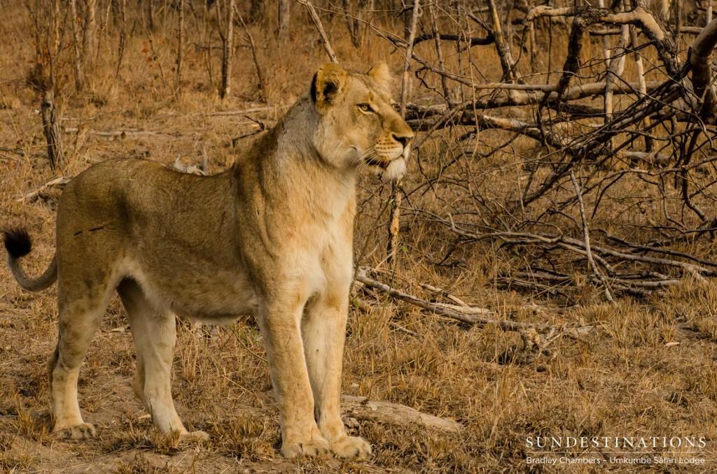 Lioness from the Matshipiri Pride