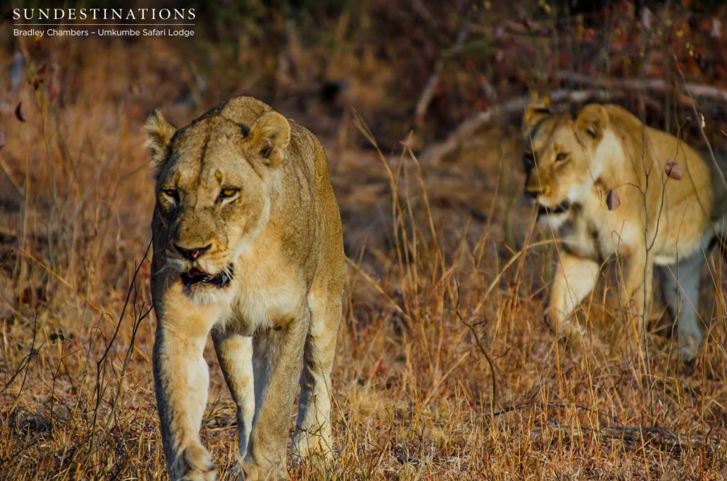 Two lions from the Matshipiri Pride seen at Umkumbe Safari Lodge