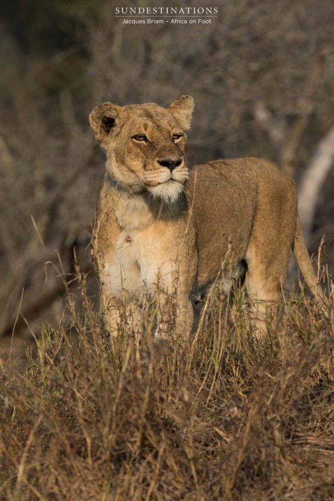 Mother lioness checks the coast is clear before moving her cubs