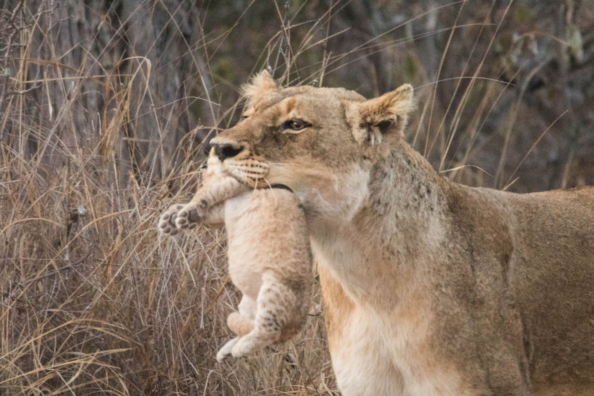 Lioness seen carrying her tiny cubs