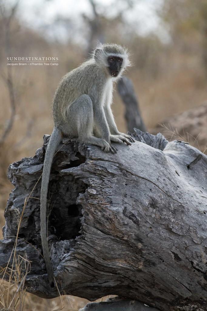 Vervet monkey contemplating life