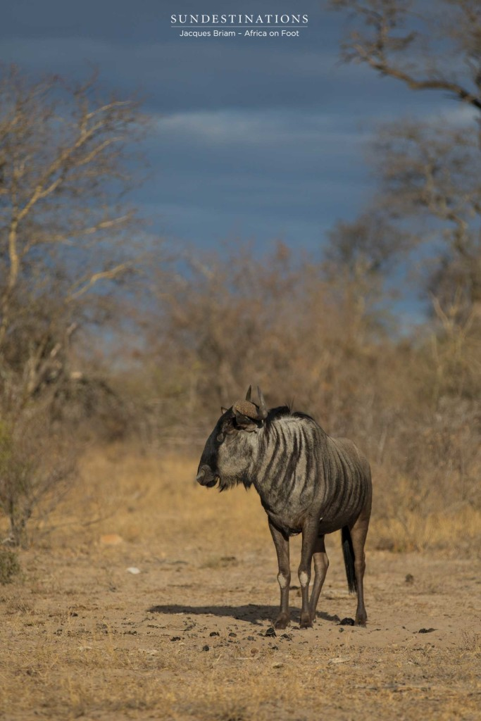 Blue wildebeest portrait