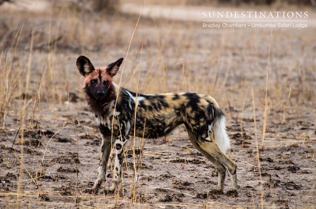 Wild Dogs - Umkumbe Safari Lodge