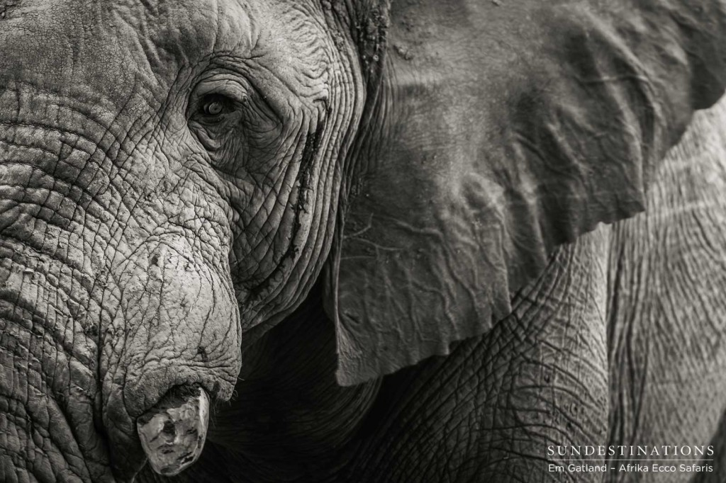 Black and white elephant of the Delta