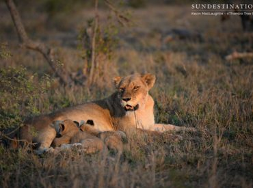 The Ross Breakaway lion cubs have grown to 2 months old, and we love seeing them looking well fed and healthy! They are both male cubs, and they engage in a lot of wobbly wrestling, which is something they will continue to do throughout their lives. Lions have a close social bond, and they use […]