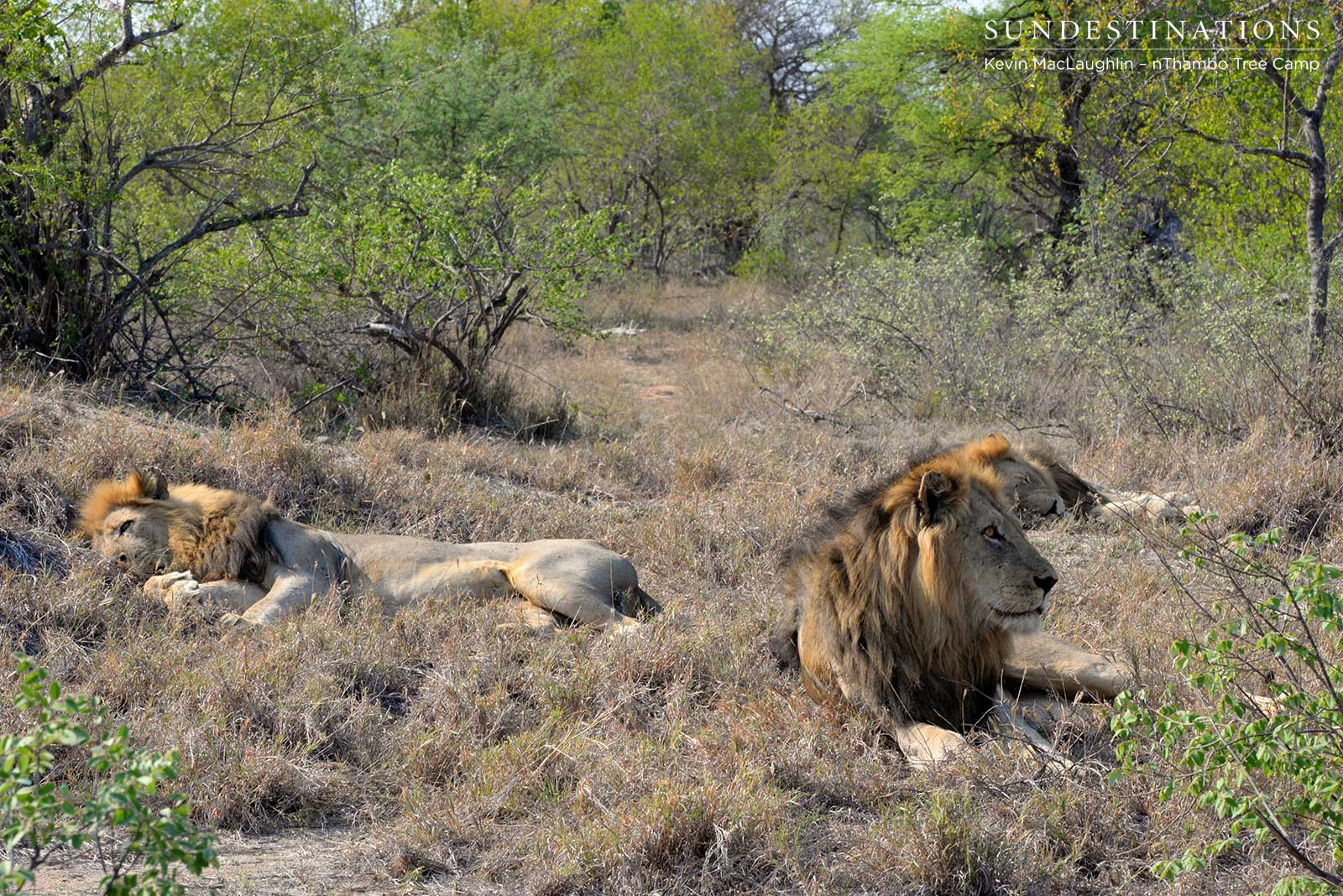 Three's a crowd: Trilogy male lions seen together again
