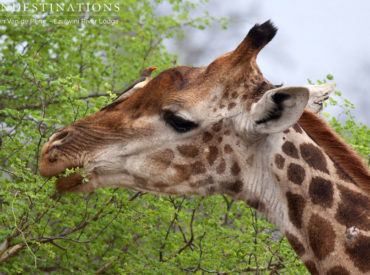 The Balule Nature Reserve provides more than just a haven for predators and the big five. The reserve is teeming with an array of plains game, such as antelope, giraffe and zebra. Plains game is the colloquial term given to species of antelope and gazelle which are typically found in open plains or savanna habitats […]