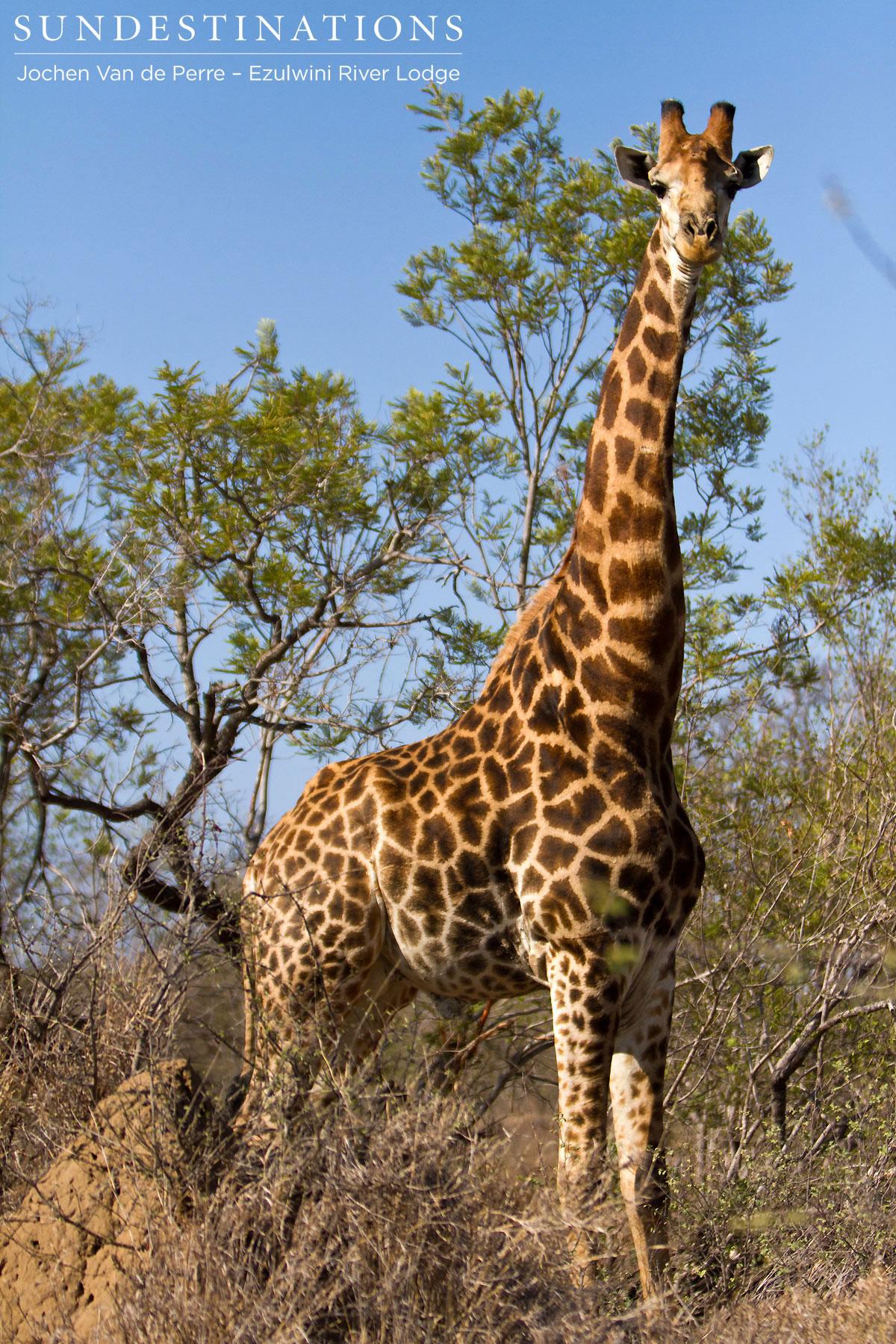 oxpecker and grazing herbivores relationship goals