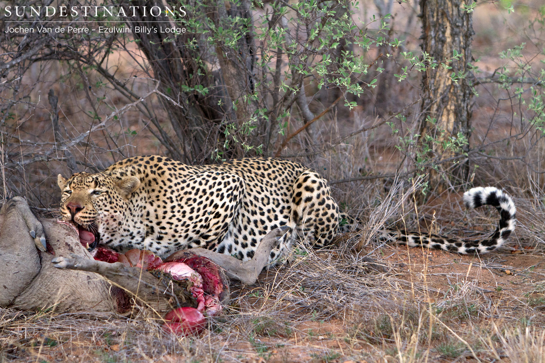 Chavaluthu the leopard kills a warthog at Ezulwini