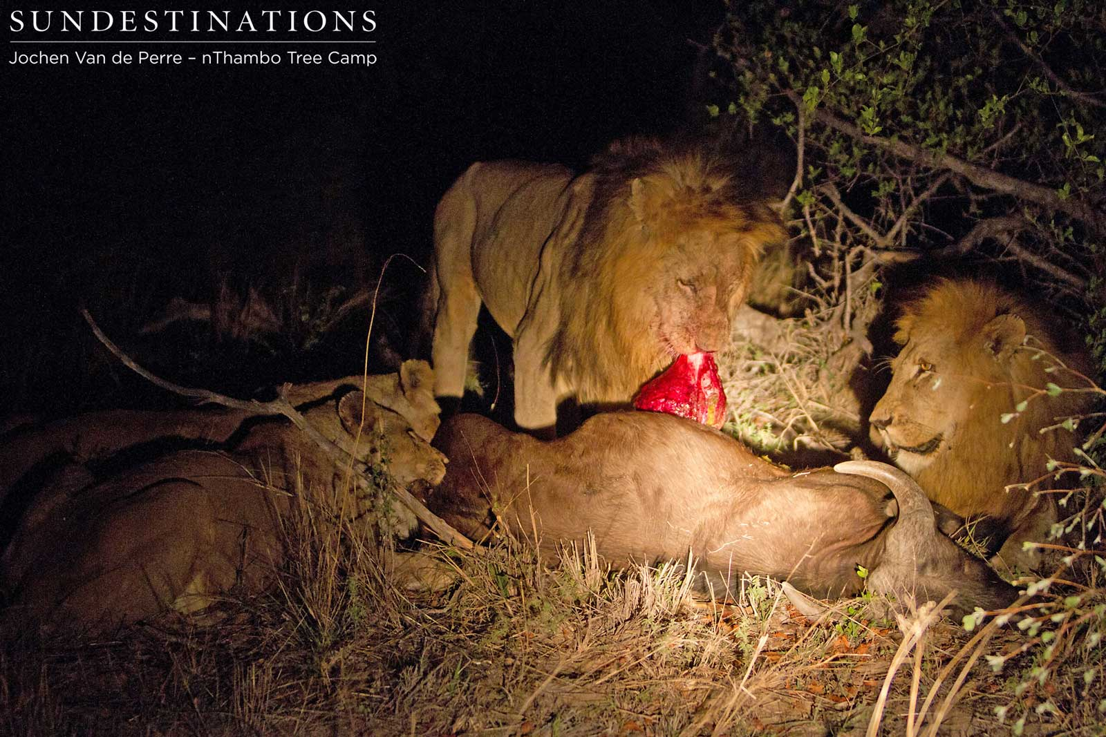 nThambo in the middle of the action during a lion kill
