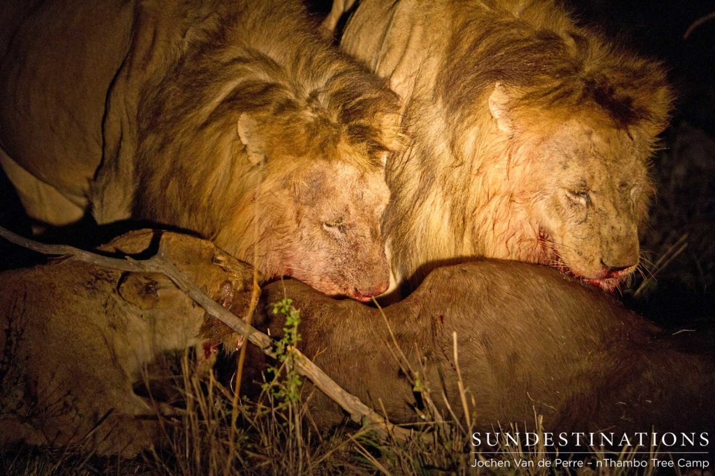 2 Trilogy males and a Ross Breakaway lioness feed on buffalo