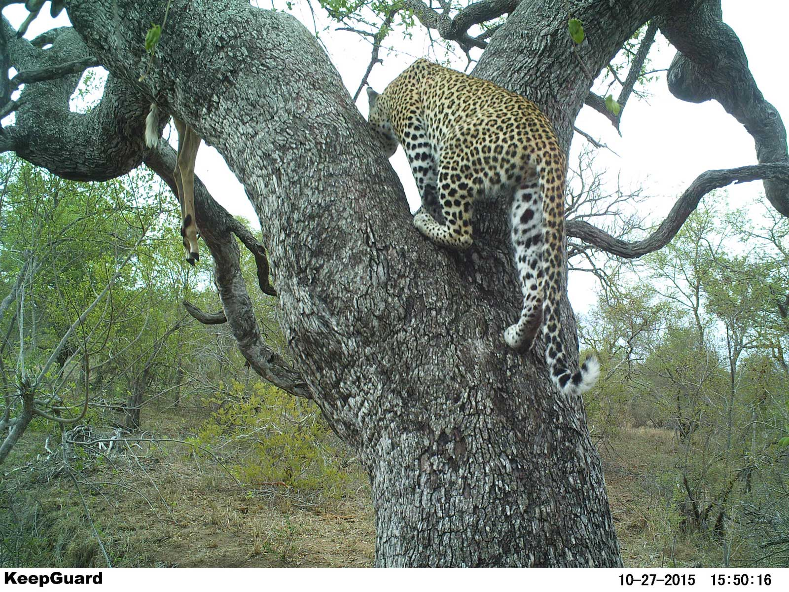 Hidden Camera Reveals Leopard And Lion In Tree