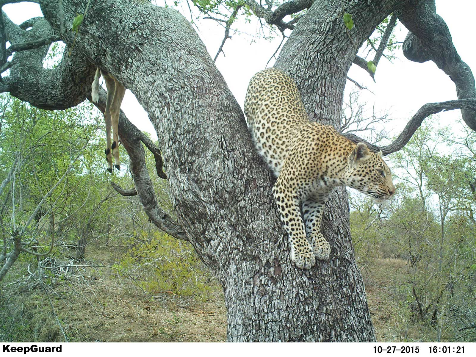 Hidden camera reveals leopard and lion in tree!