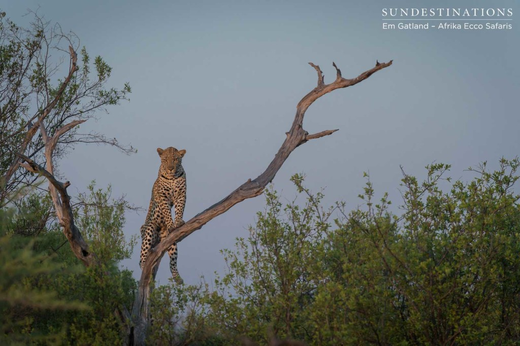 Moremi leopard getting a better look