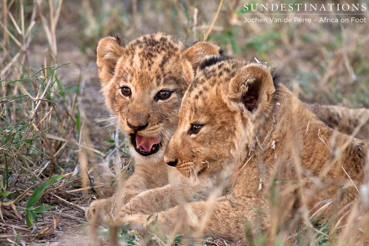 Heartwarming Sighting of Lion Cubs and Porcupettes