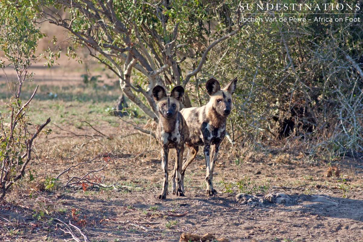 African Painted Dogs Return to Our Turf