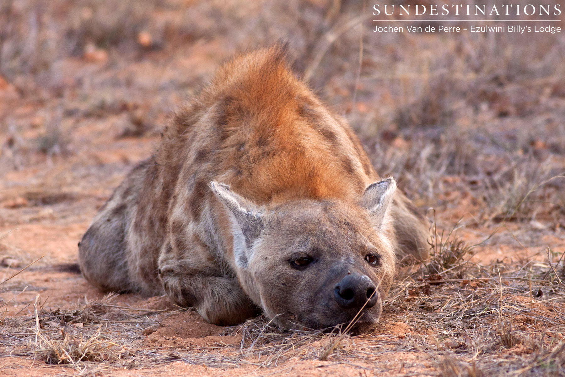 Hyenas and Cubs Parade at Ezulwini