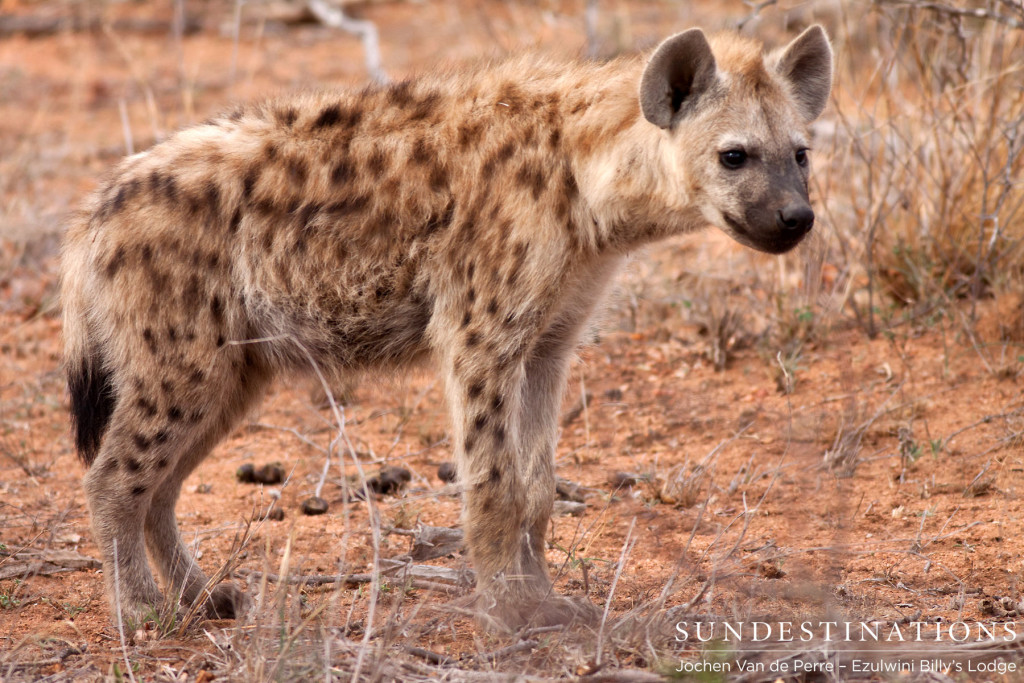 Young spotted hyena at Ezulwini