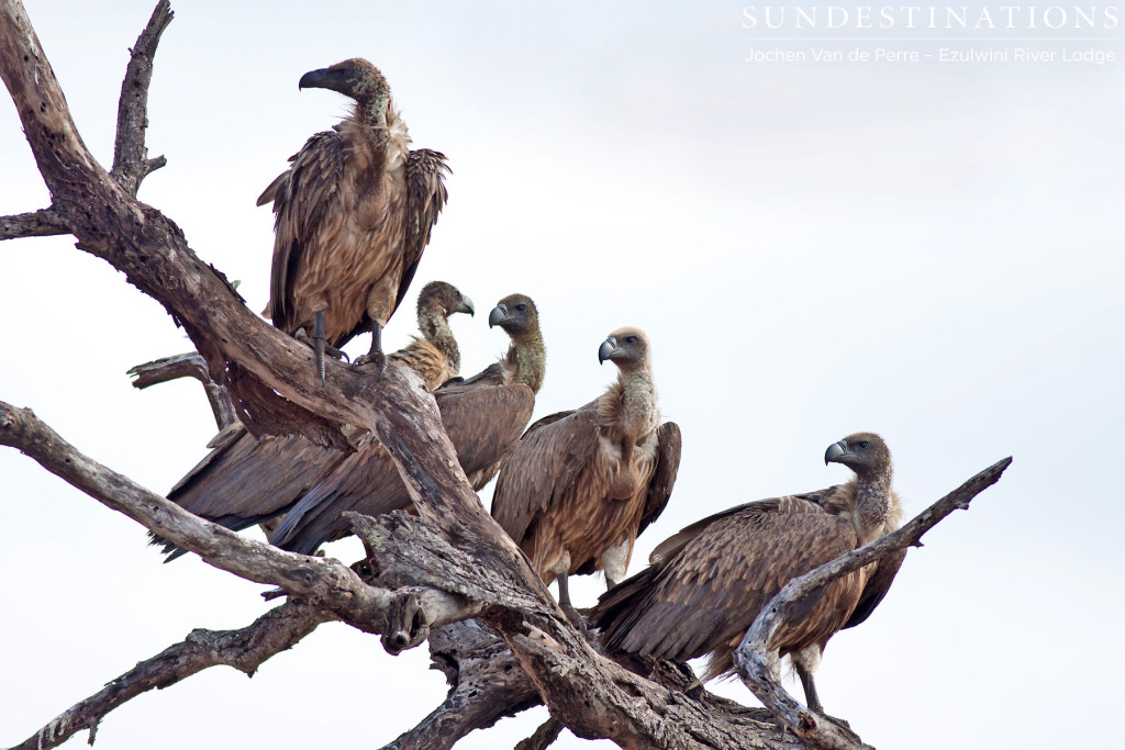 White-backed vultures lining up