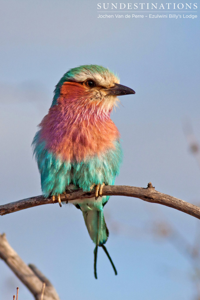 Lilac-breasted roller. The poser.