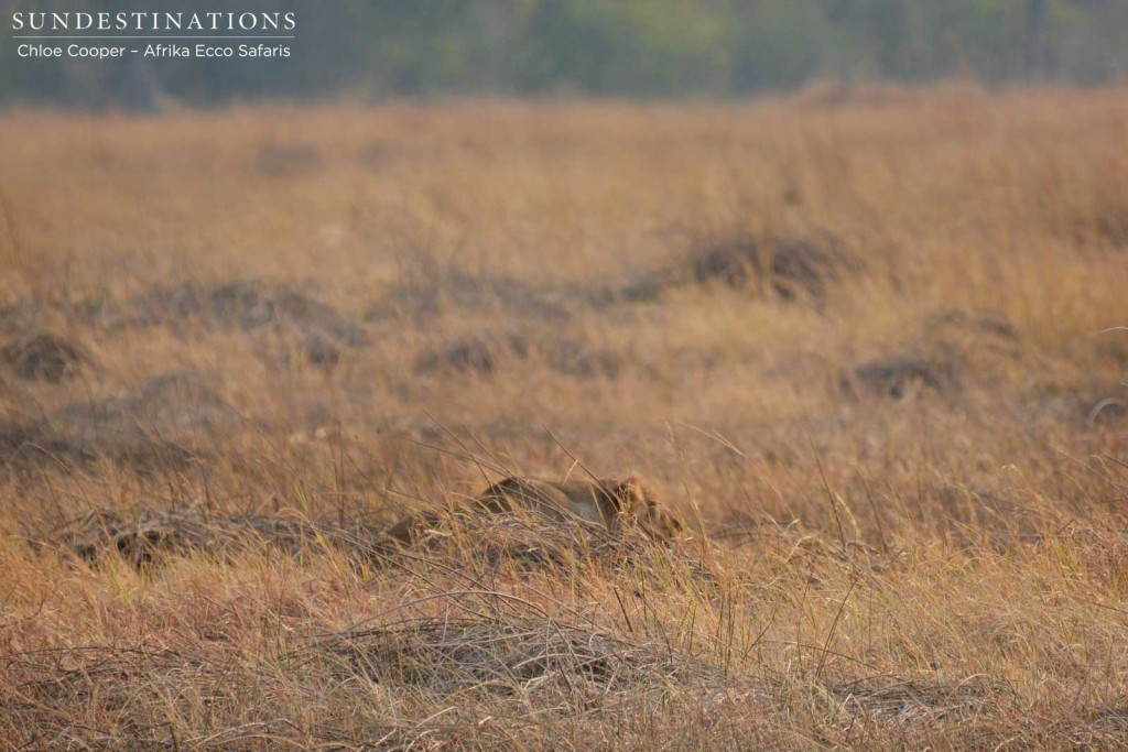 One lioness stalking in the grass
