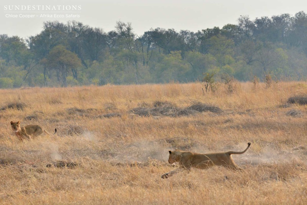 Two lions chasing down warthog