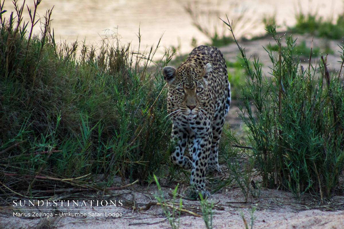 White Dam - Leopard