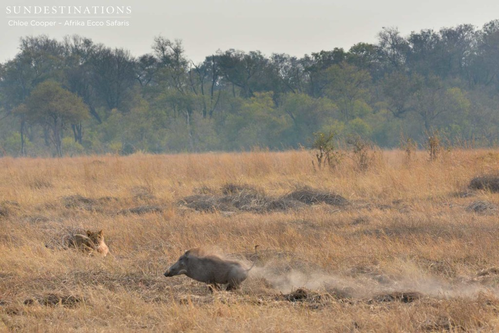 Lion closing in on warthog