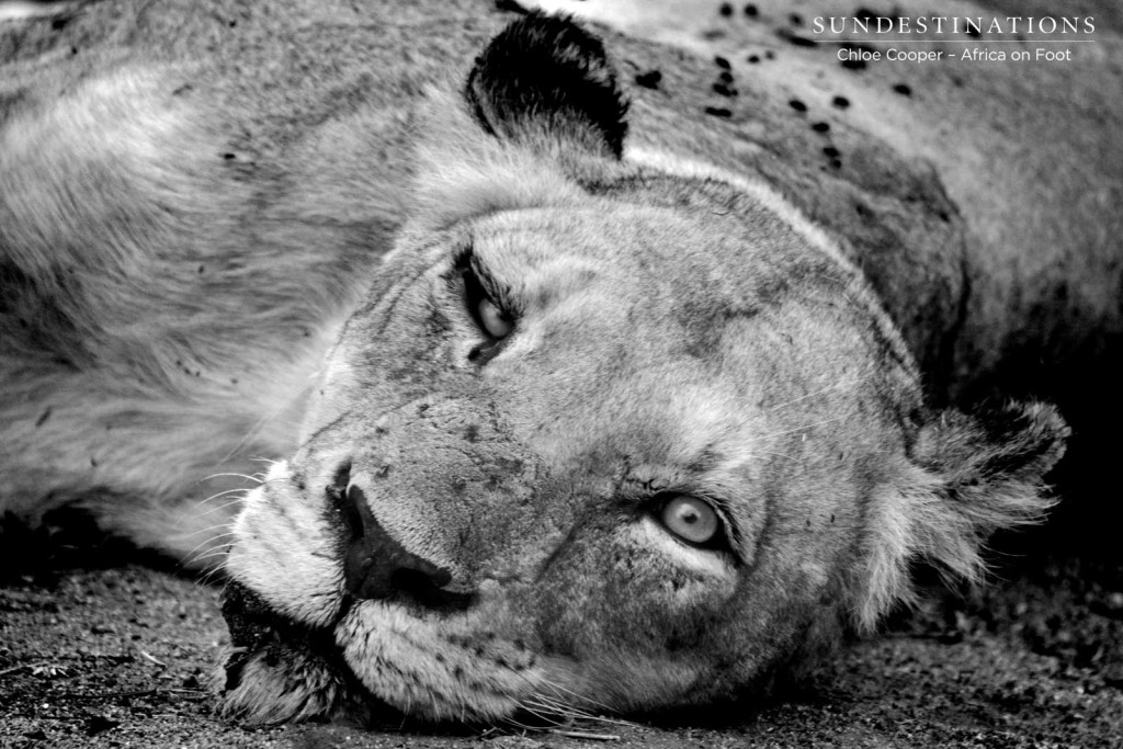 Ross Breakaway lioness in black and white