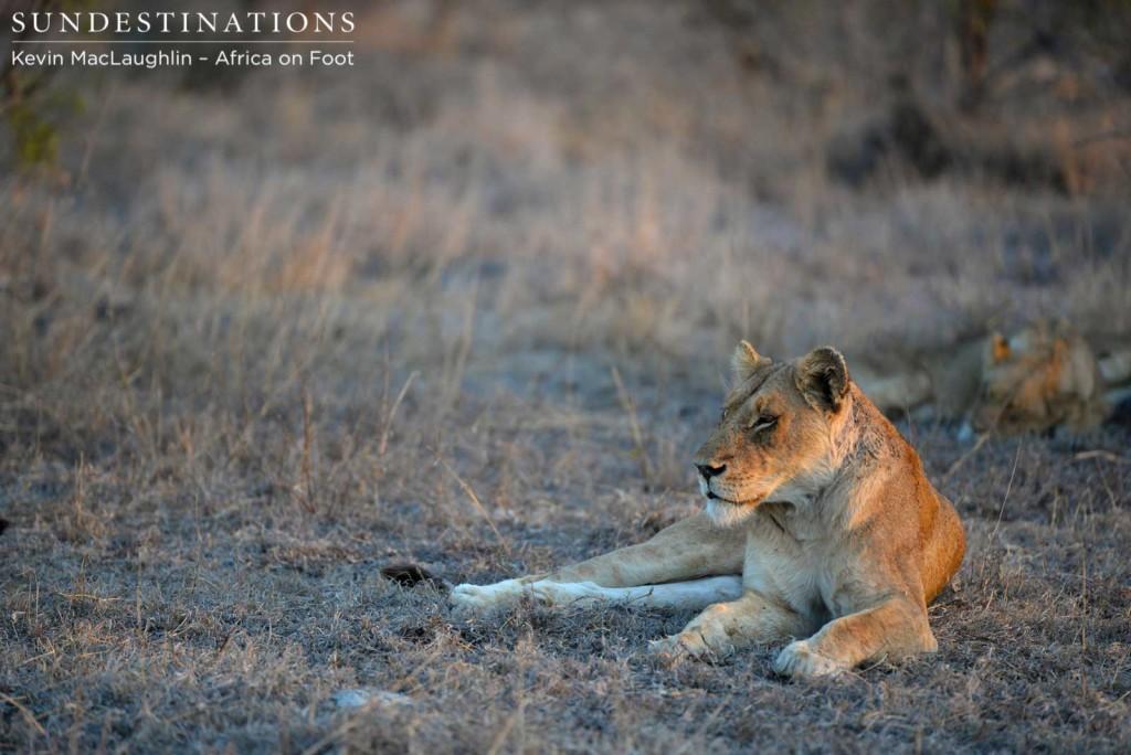 Ross Lioness now deceased