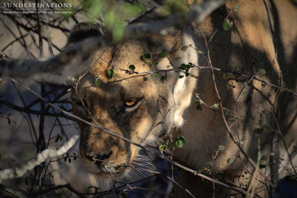 Ross Breakaway lioness in the shadows