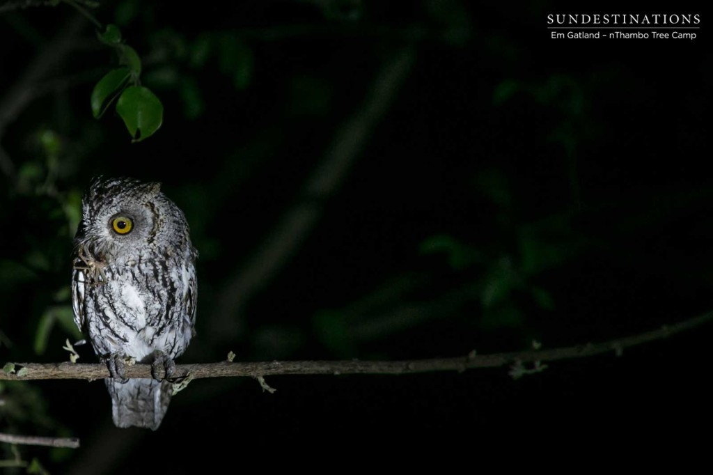 African scops owl with a spider kill