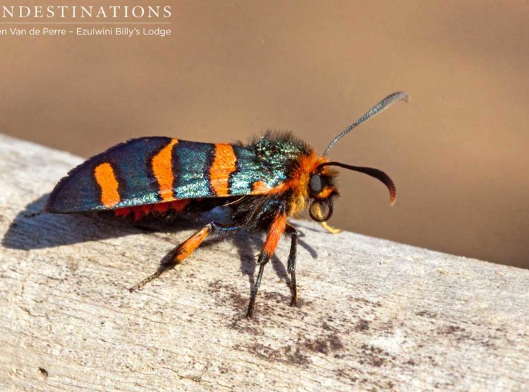 Bizarre Bugs of the Balule