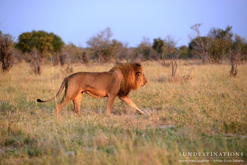 Male lion in Savuti