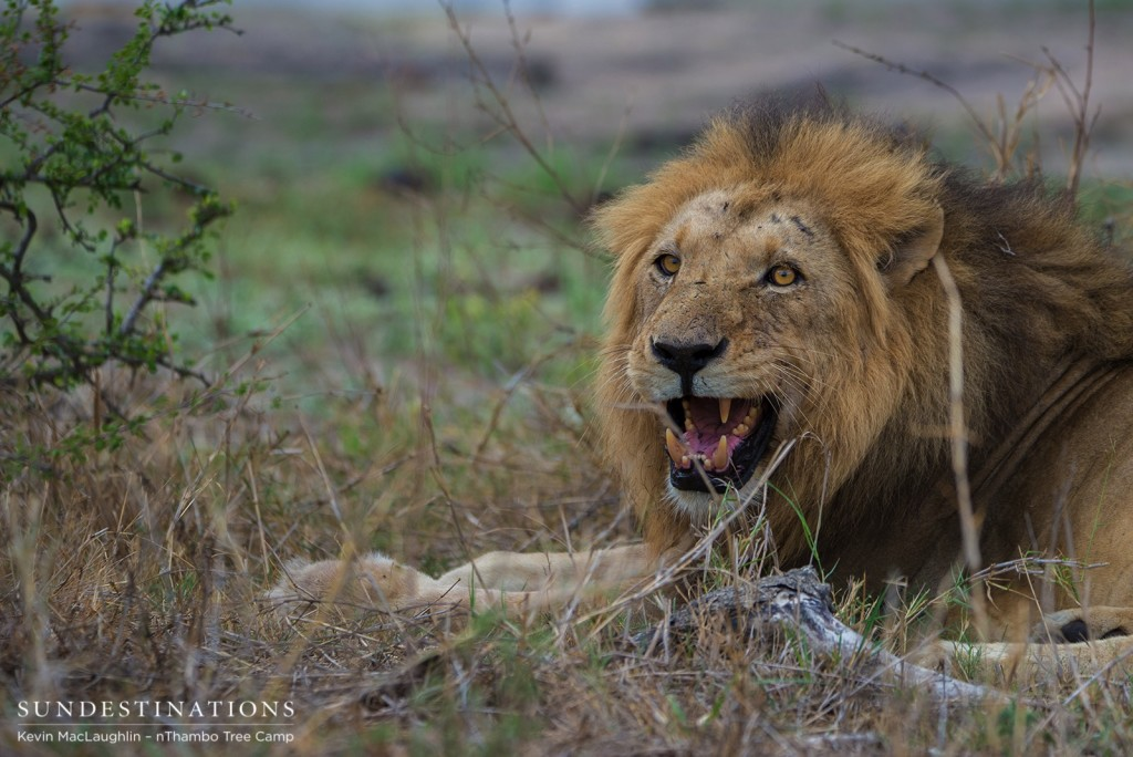 Second of the 3 Trilogy males seen at nThambo Tree Camp