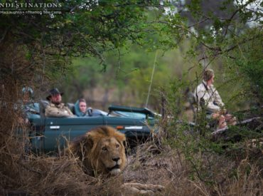 Merciful rain poured down last night after some very hot temperatures yesterday and everyone at nThambo Tree Camp rose with the excitement of a morning game drive in cooler weather. As it turned out, we weren't the only ones eager to get out and about! The notorious Trilogy male lions were spotted near Jason's Dam […]