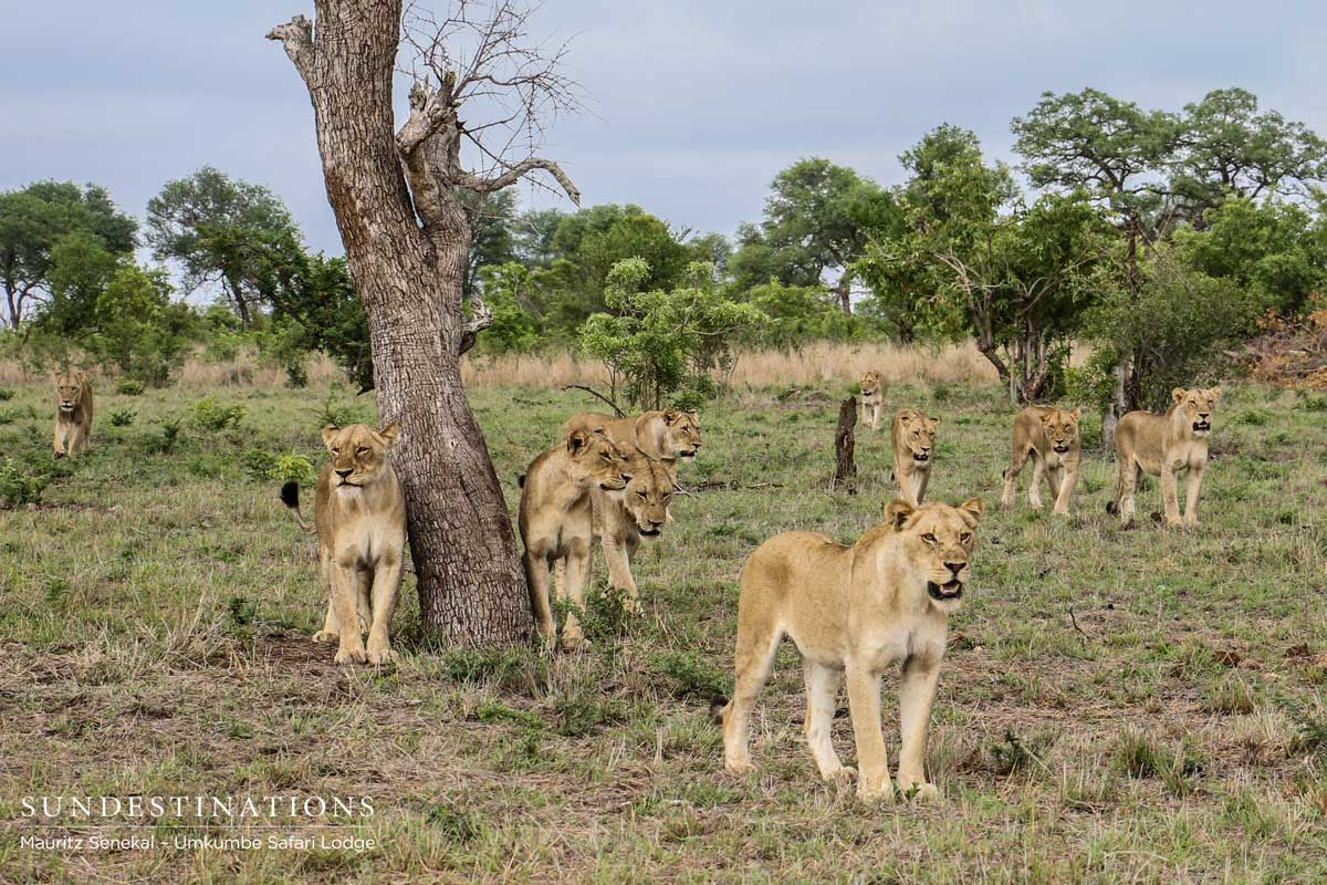 Recent Sabi Sand Lion Sightings from Umkumbe