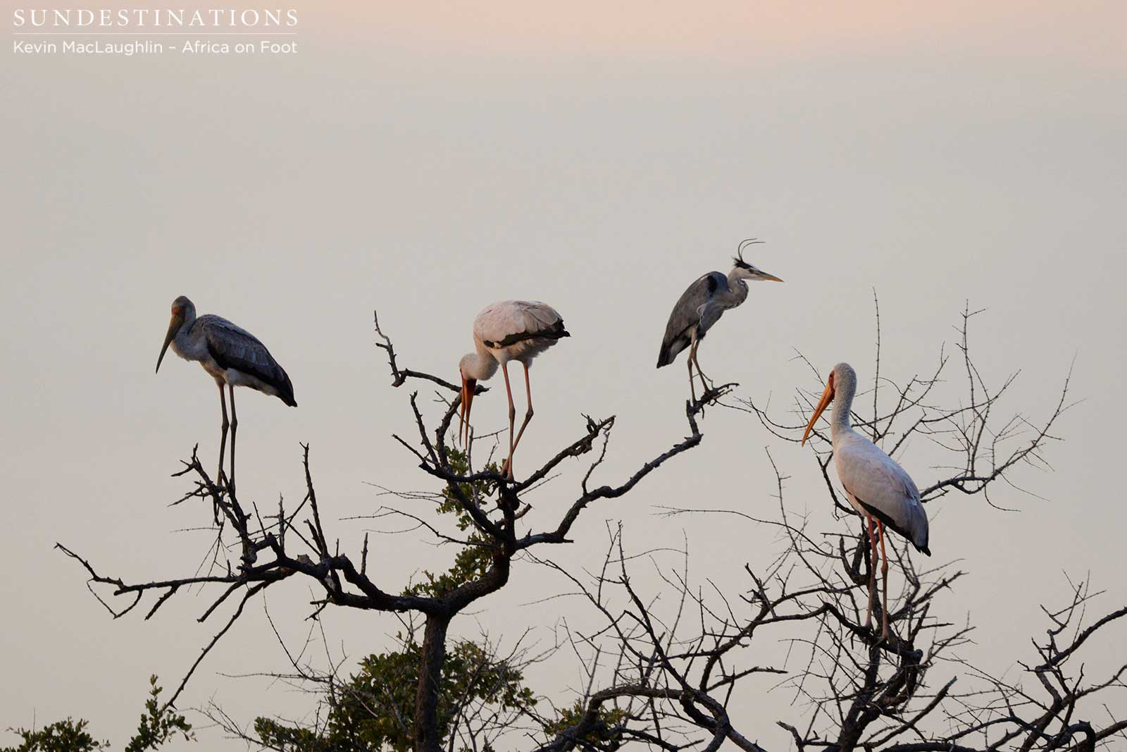Yellow-billed storks and a grey heron