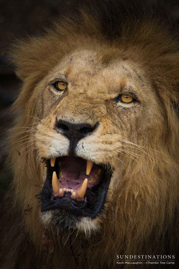 Trilogy male lion snarl