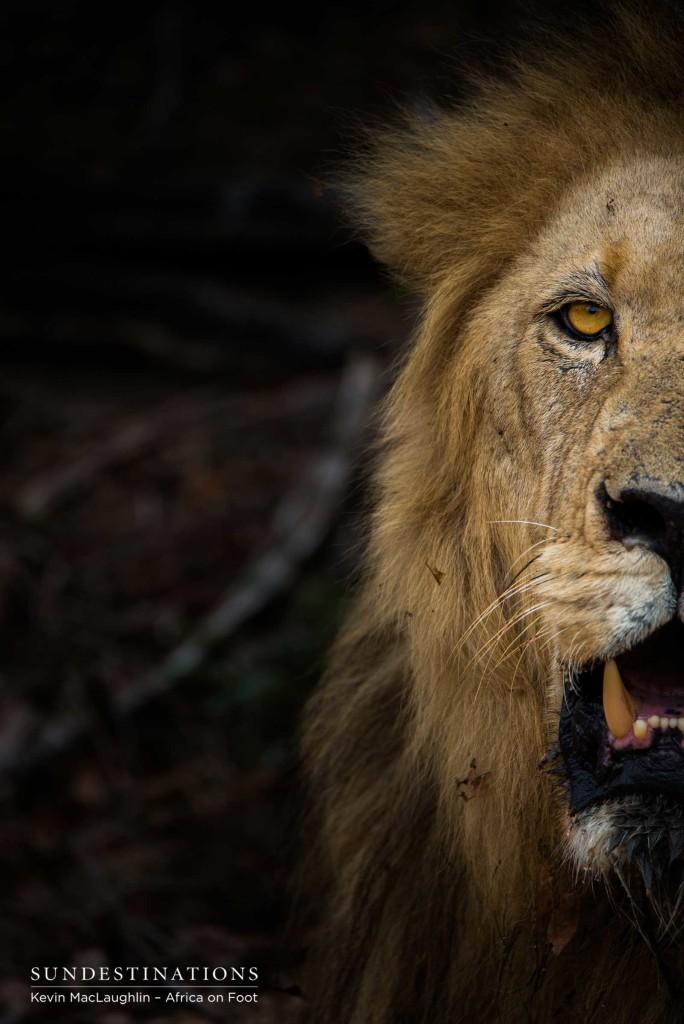 Trilogy lion face off
