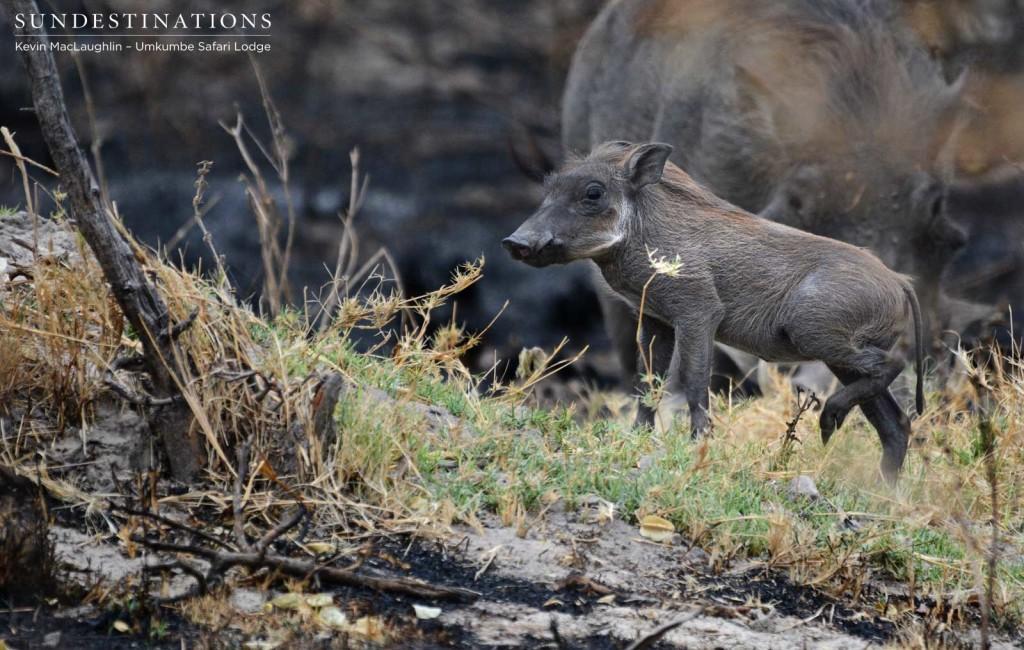 Warthog piglet, summer arrival