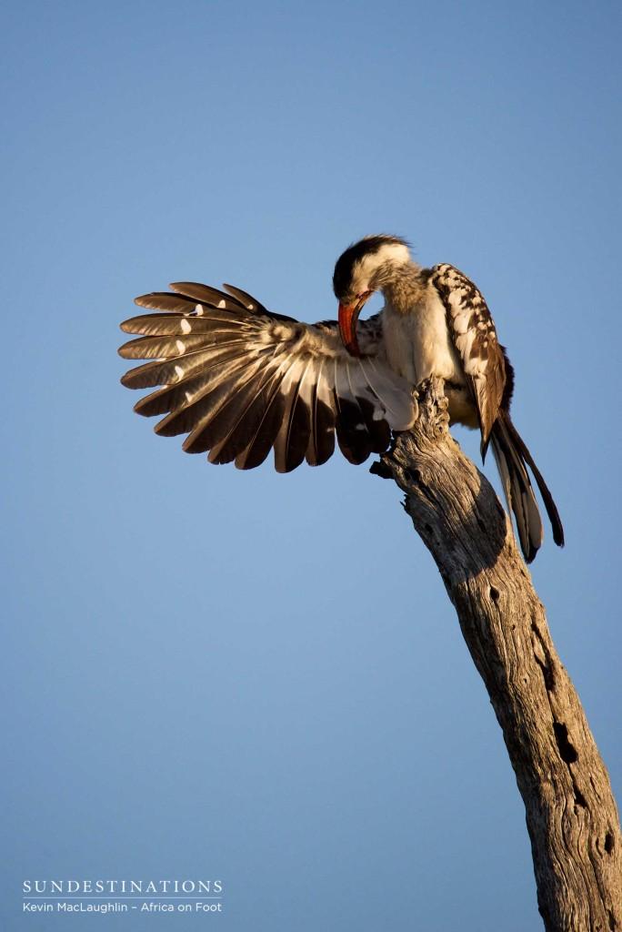 Red-billed hornbill preening