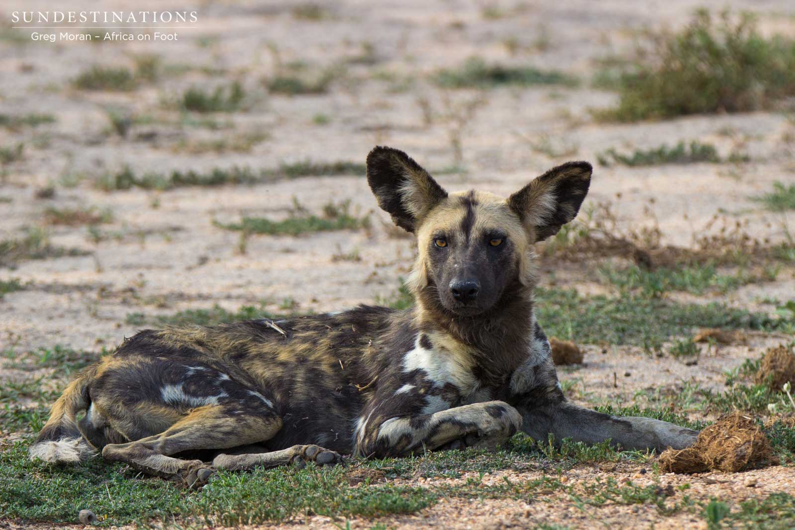 The wild dogs are back at Africa on Foot