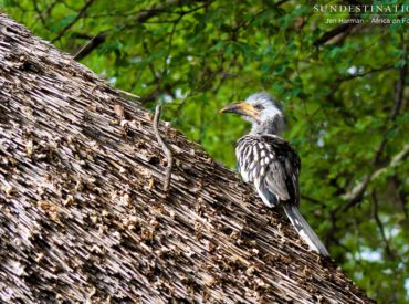 This time last year, we reported that we had witnessed red-billed hornbills leaving the nest at Africa on Foot, and now, a year later, the same thing has been recorded, except that this time it was a yellow-billed hornbill chick! Catching this sort of intimate act of nature in action is very special, and we […]