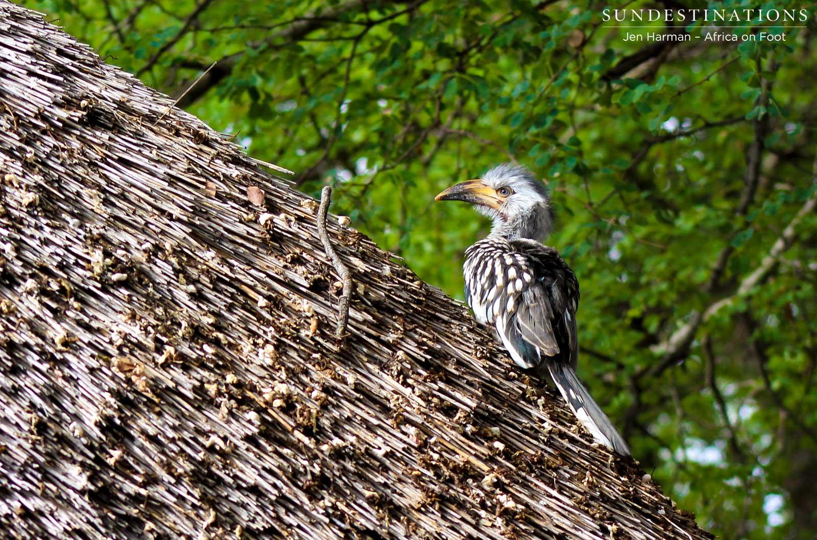Hornbill Chick Flees the Nest